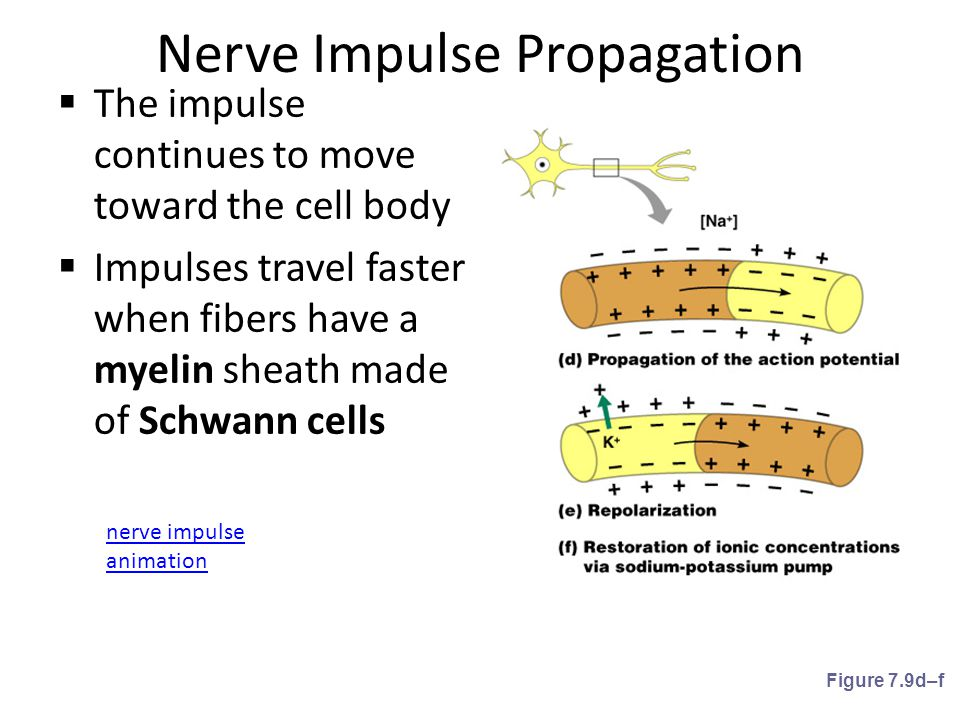 Nerve Impulse Propagation