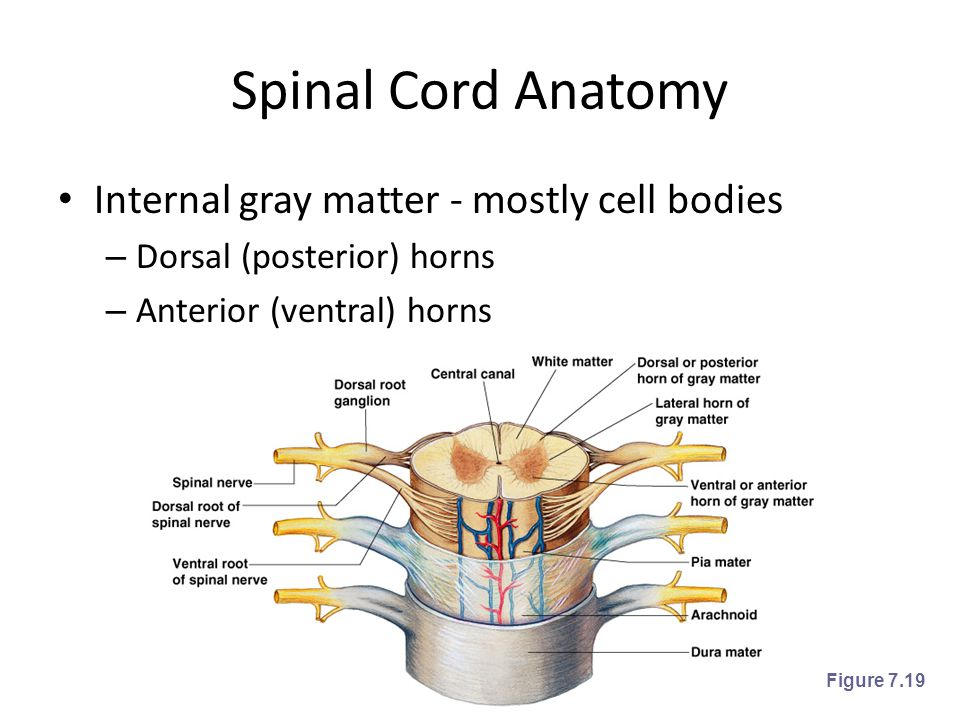 Spinal Cord Anatomy Internal gray matter - mostly cell bodies