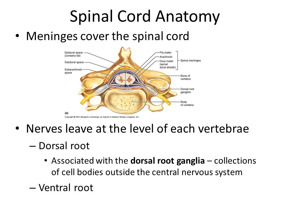 Spinal Cord Anatomy Meninges cover the spinal cord