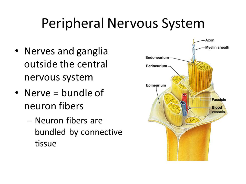 peripheral nervous system The peripheral nervous system refers to parts of the nervous system outside the brain and spinal cord it includes the cranial nerves, spinal nerves and their roots and branches, peripheral nerves, and neuromuscular junctions.