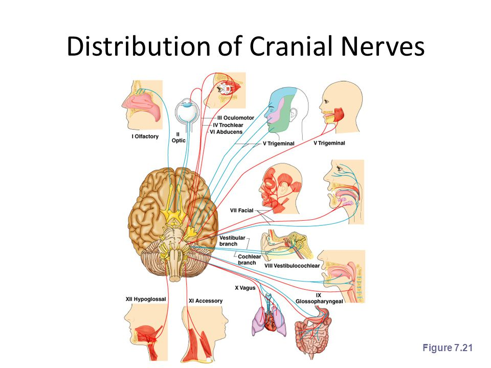 Distribution of Cranial Nerves