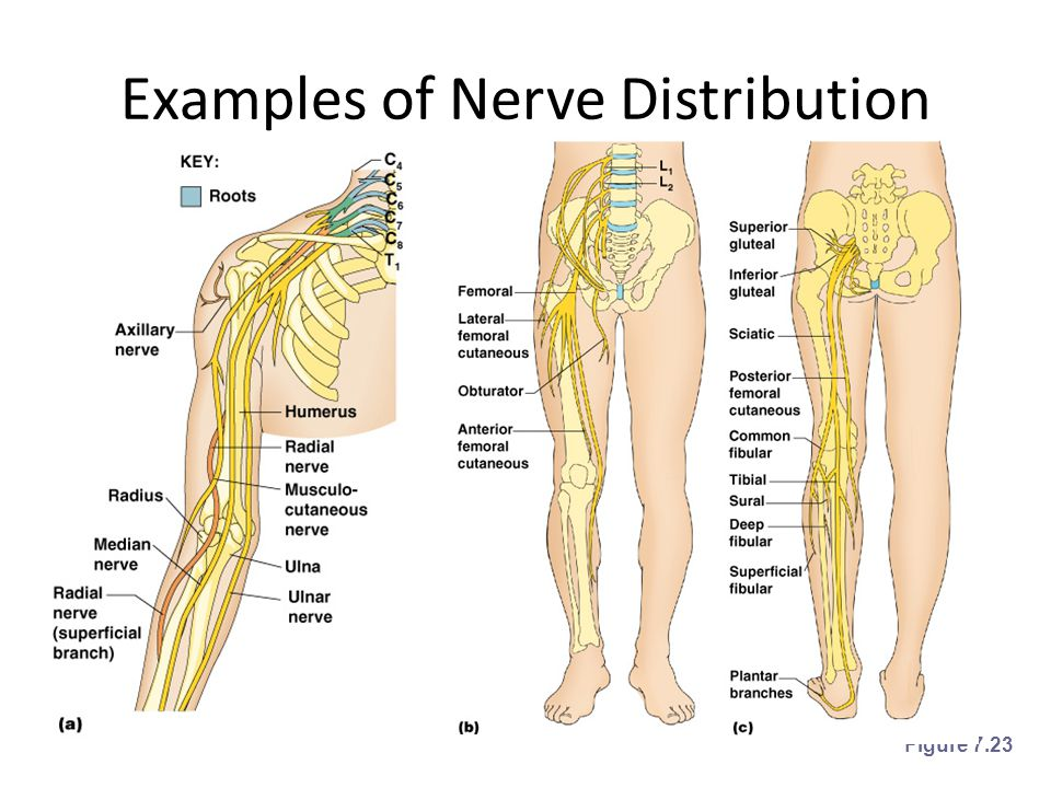 Examples of Nerve Distribution