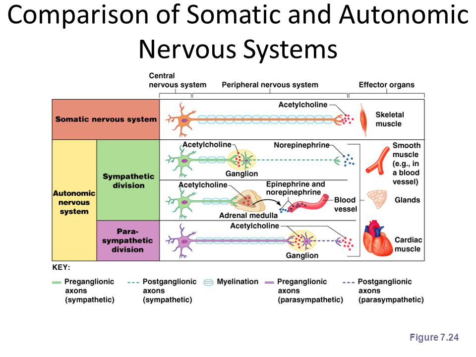 Comparison of Somatic and Autonomic Nervous Systems