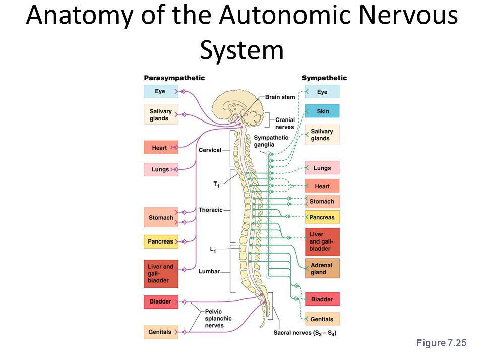 Anatomy of the Autonomic Nervous System