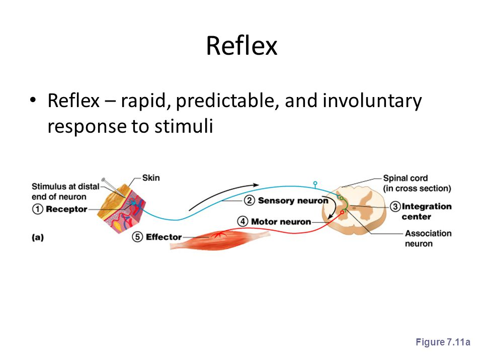 Reflex Reflex – rapid, predictable, and involuntary response to stimuli Figure 7.11a
