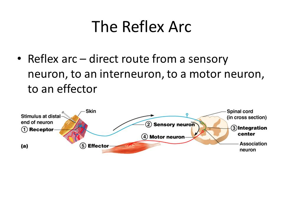 The Reflex Arc Reflex arc – direct route from a sensory neuron, to an interneuron, to a motor neuron, to an effector.
