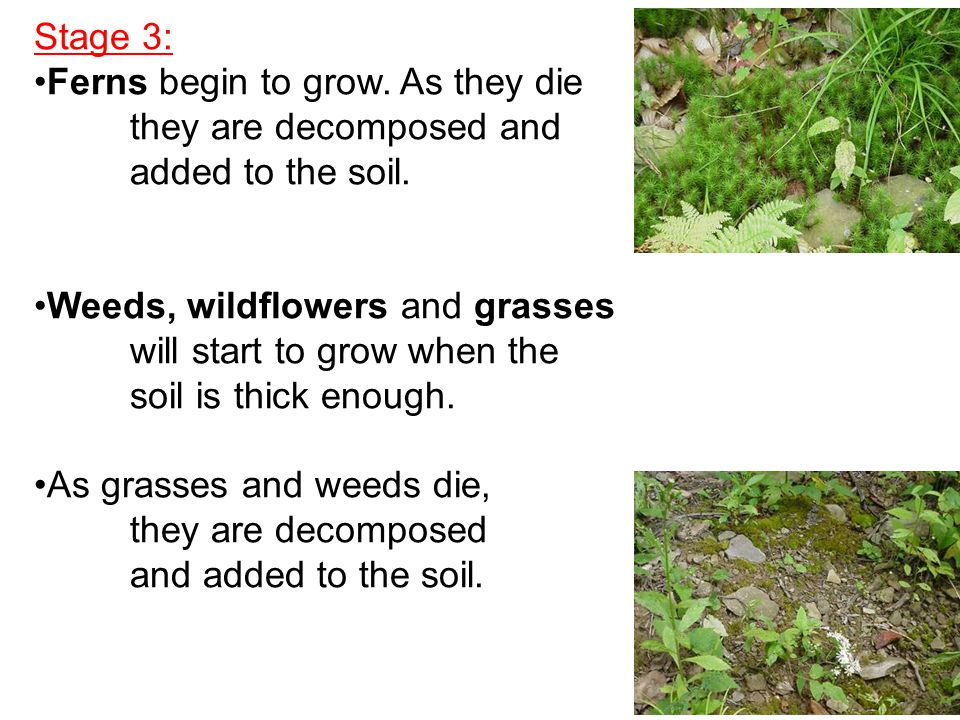Stage 3: Ferns begin to grow. As they die. they are decomposed and. added to the soil. Weeds, wildflowers and grasses.