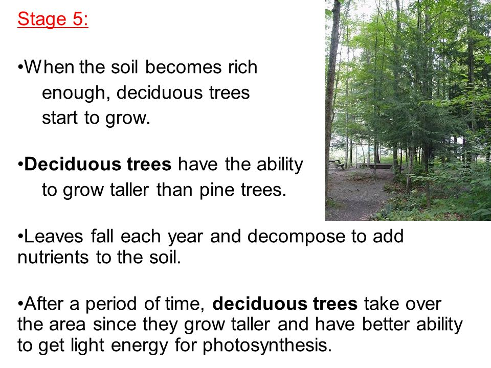 Stage 5: When the soil becomes rich. enough, deciduous trees. start to grow. Deciduous trees have the ability.