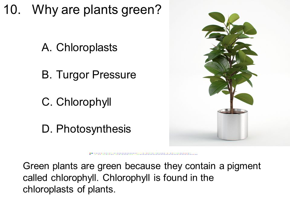 10. Why are plants green Chloroplasts Turgor Pressure Chlorophyll