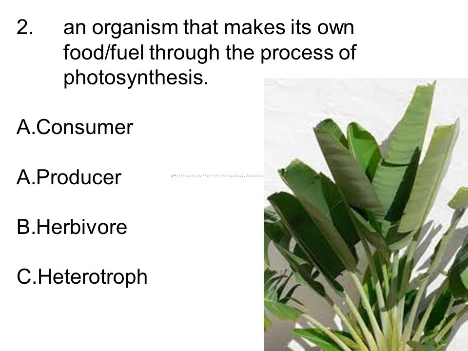 2. an organism that makes its own