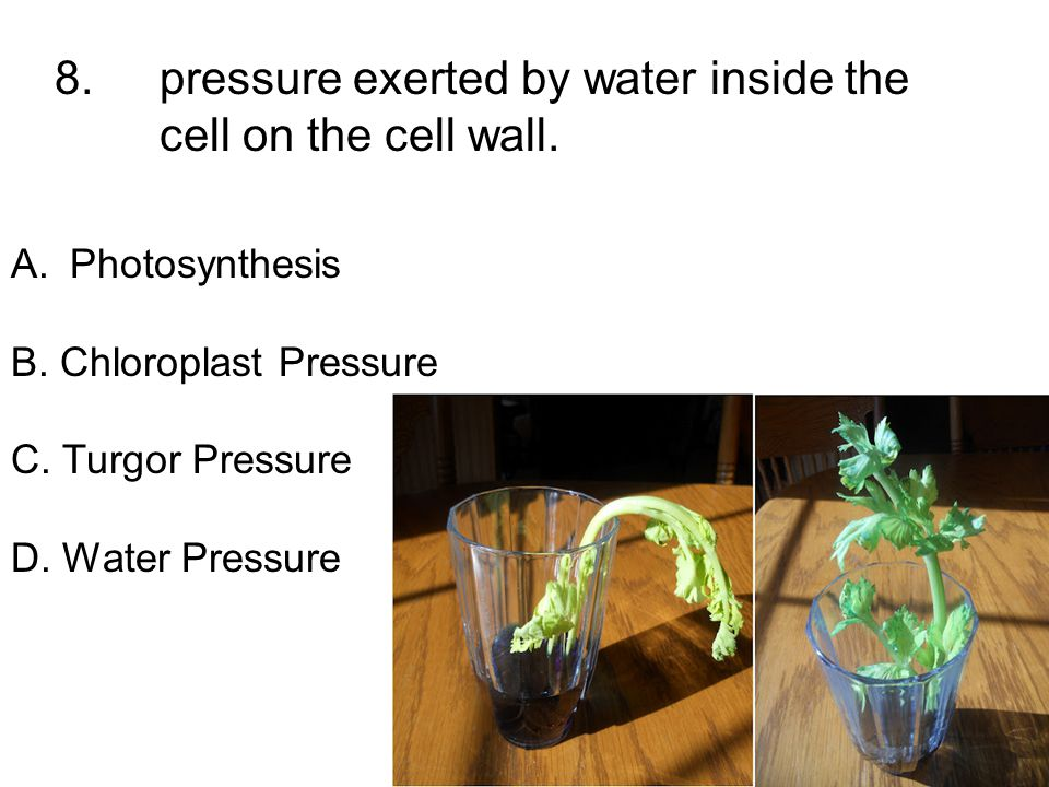 8. pressure exerted by water inside the cell on the cell wall.