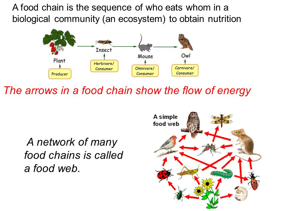 The arrows in a food chain show the flow of energy