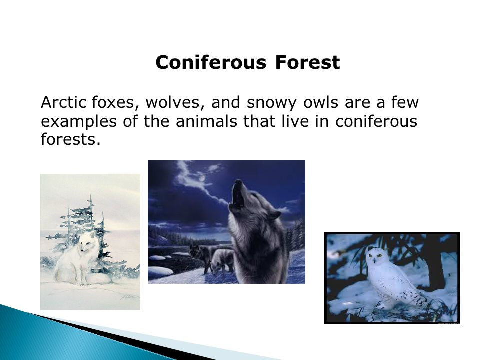 Coniferous Forest Arctic foxes, wolves, and snowy owls are a few examples of the animals that live in coniferous forests.