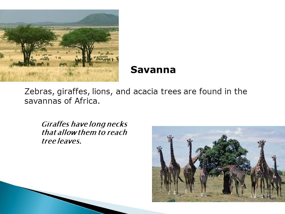 Savanna Zebras, giraffes, lions, and acacia trees are found in the savannas of Africa.