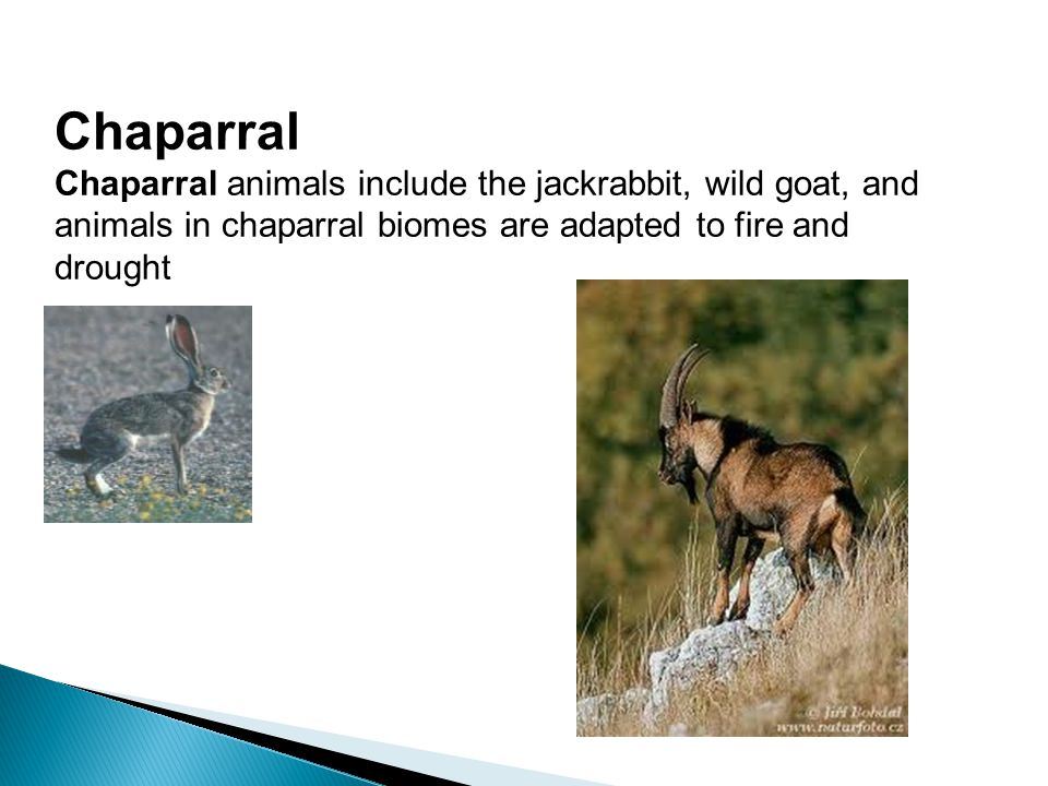 Chaparral Chaparral animals include the jackrabbit, wild goat, and animals in chaparral biomes are adapted to fire and drought.