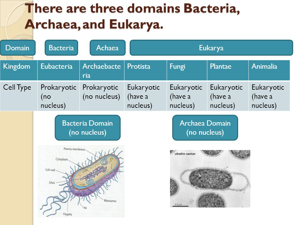 There are three domains Bacteria, Archaea, and Eukarya.