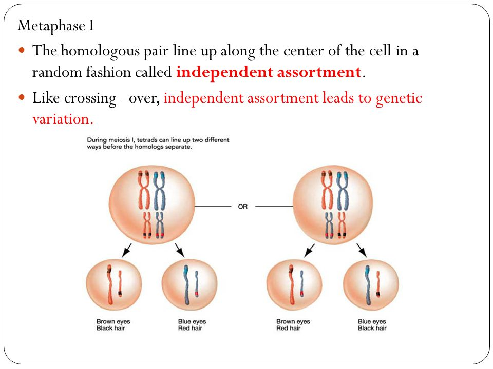 Metaphase I The homologous pair line up along the center of the cell in a random fashion called independent assortment.