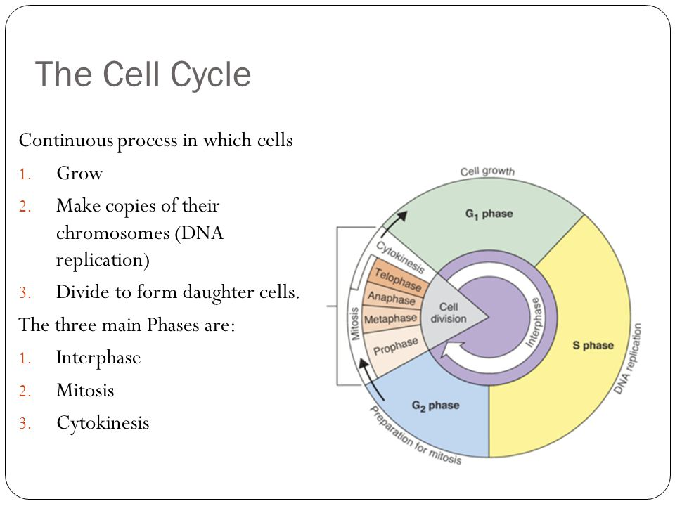 The Cell Cycle Continuous process in which cells Grow