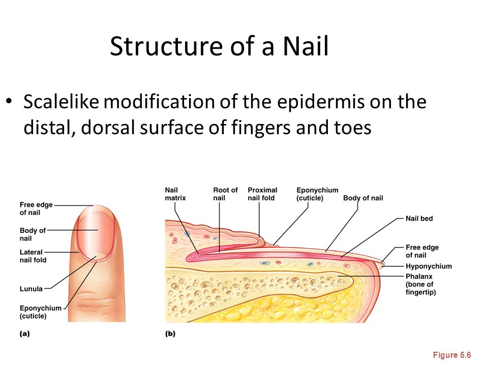 Structure of a Nail Scalelike modification of the epidermis on the distal, dorsal surface of fingers and toes.