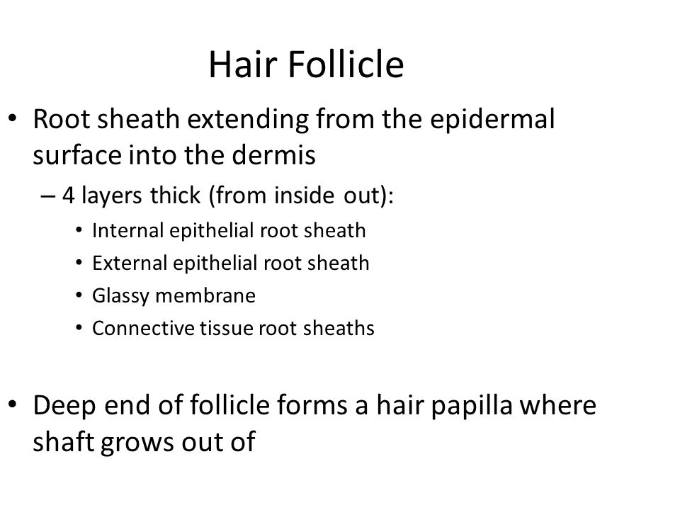 Hair Follicle Root sheath extending from the epidermal surface into the dermis. 4 layers thick (from inside out):