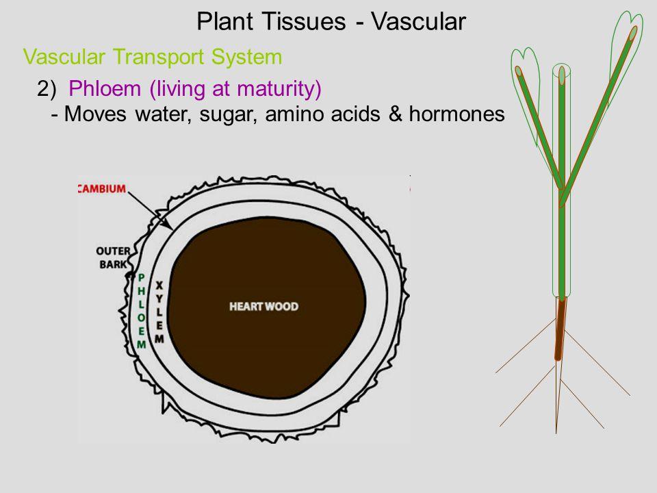 Plant Tissues - Vascular