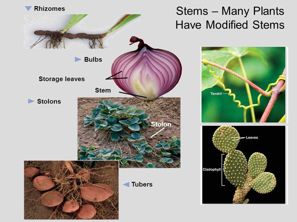 Stems – Many Plants Have Modified Stems