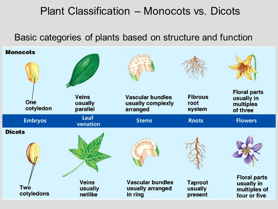 Plant Classification – Monocots vs. Dicots