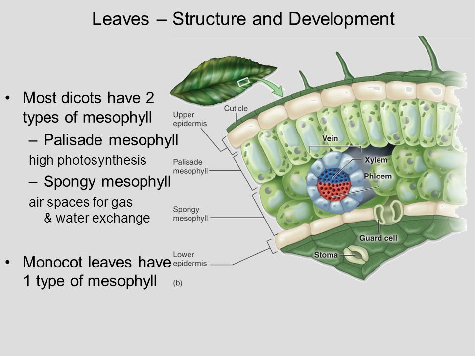 Leaves – Structure and Development