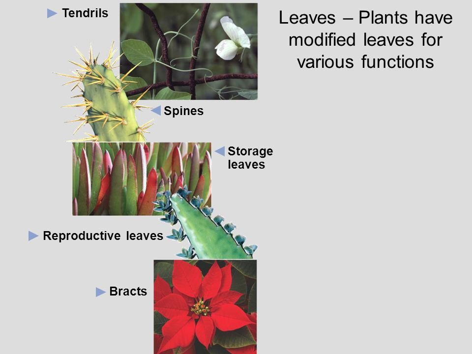 Leaves – Plants have modified leaves for various functions