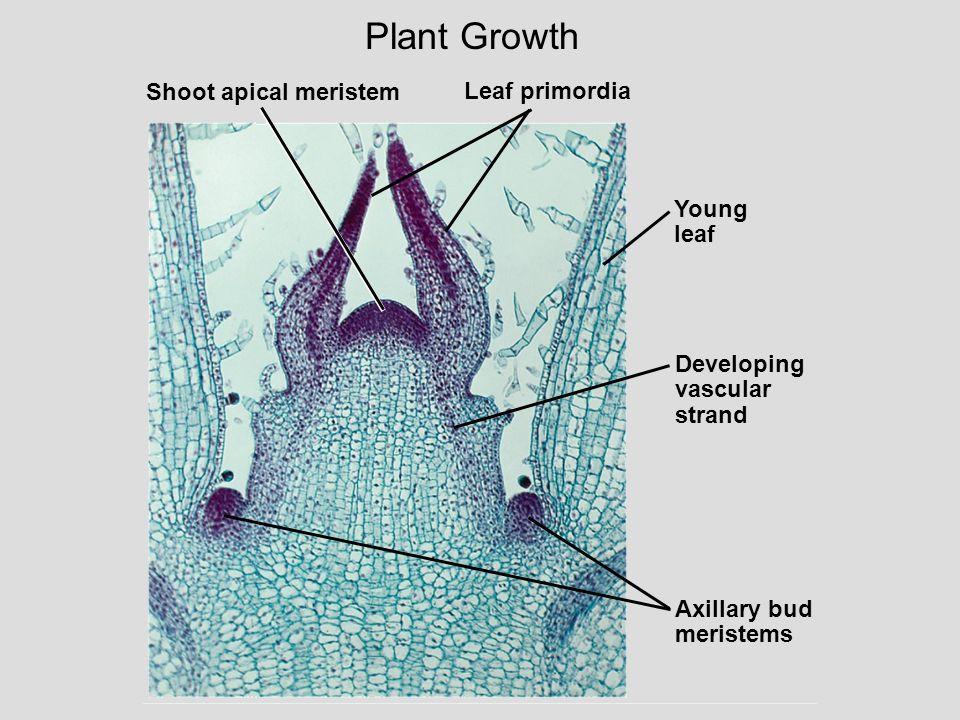 Plant Growth Shoot apical meristem Leaf primordia Young leaf