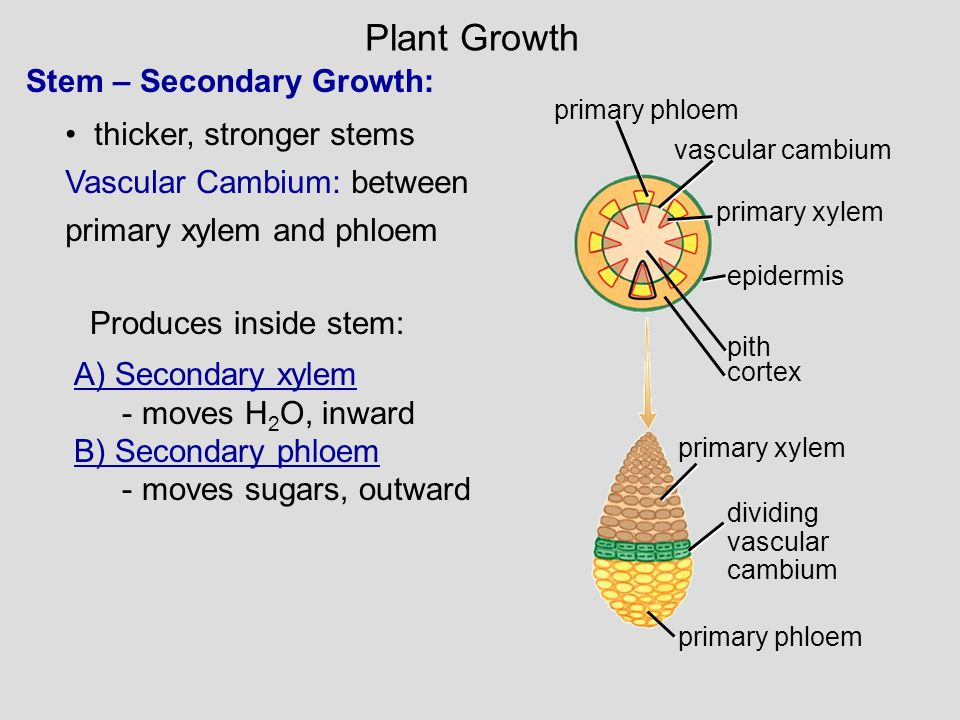 Plant Growth Stem – Secondary Growth: thicker, stronger stems