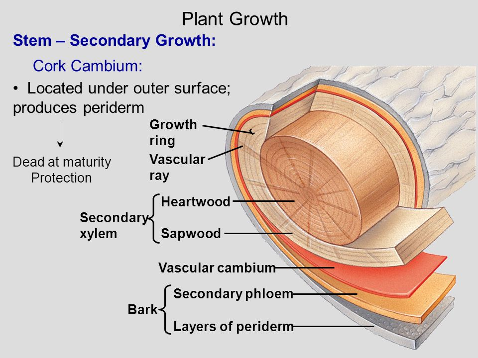 Plant Growth Stem – Secondary Growth: Cork Cambium: