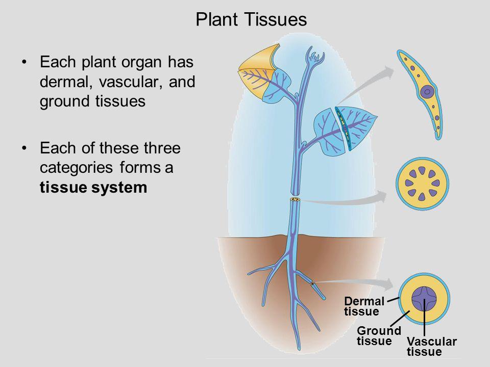 Plant Tissues Dermal. tissue. Ground. Vascular. Each plant organ has dermal, vascular, and ground tissues.