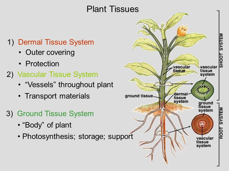 plant vascular tissue Ground tissue food or water storage, photosynthesis, respiration, support, mechanical protection might be divided into regions of cortex and pith by the vascular tissue called mesophyll in leaves.
