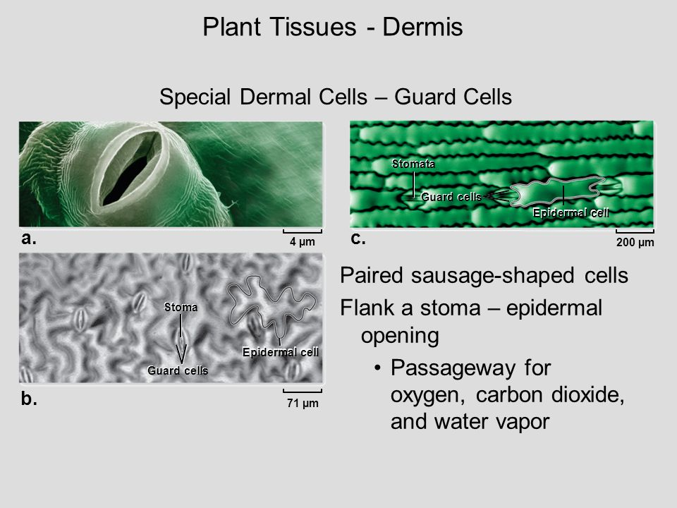 Plant Tissues - Dermis Special Dermal Cells – Guard Cells