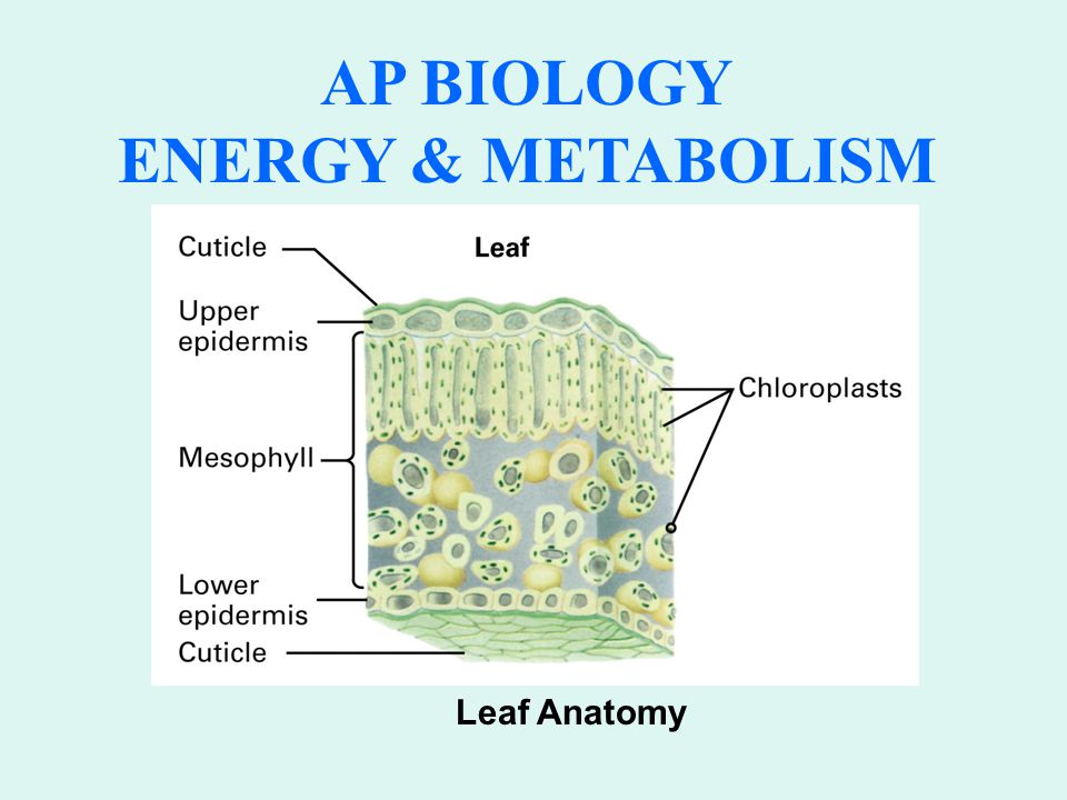 AP BIOLOGY ENERGY & METABOLISM