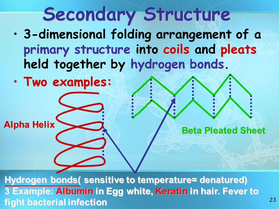 Secondary Structure 3-dimensional folding arrangement of a primary structure into coils and pleats held together by hydrogen bonds.