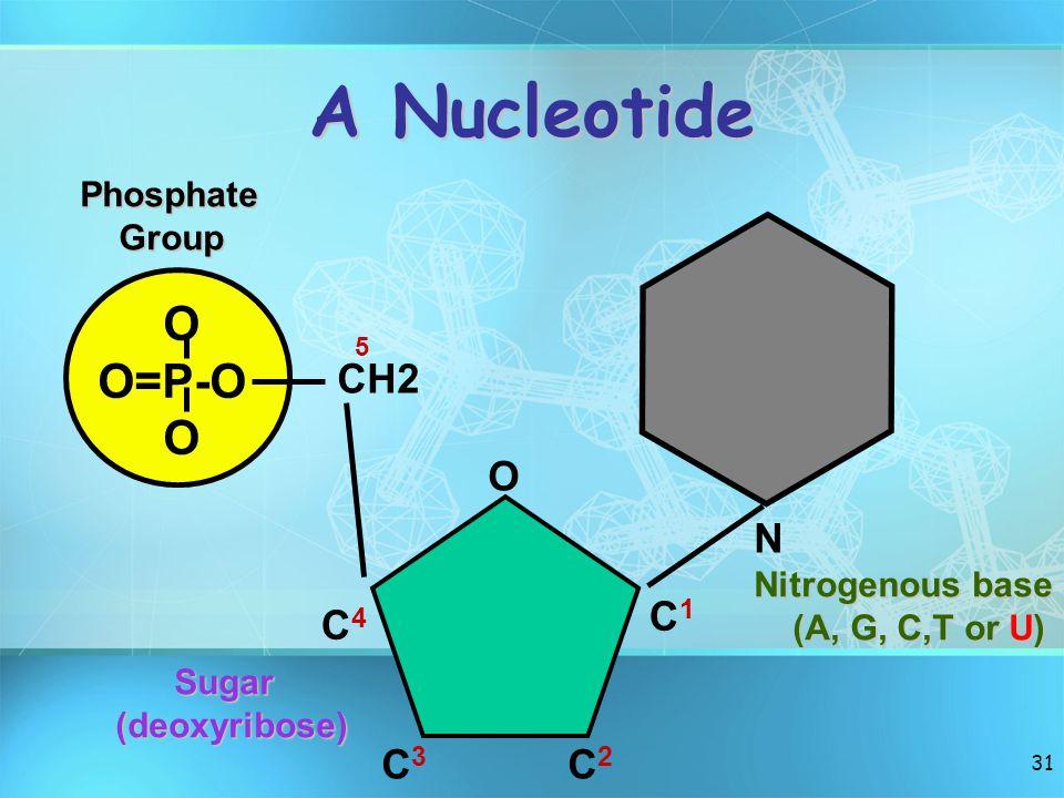 A Nucleotide O O=P-O N CH2 O C1 C4 C3 C2 Phosphate Group