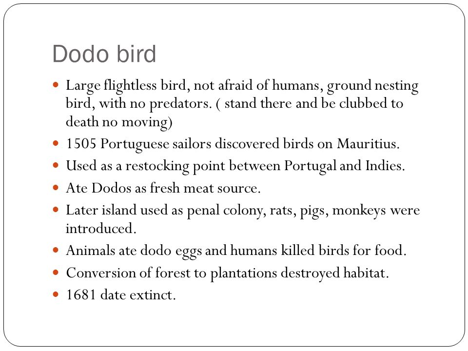 Dodo bird Large flightless bird, not afraid of humans, ground nesting bird, with no predators. ( stand there and be clubbed to death no moving)