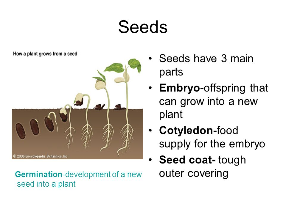 Seeds Seeds have 3 main parts