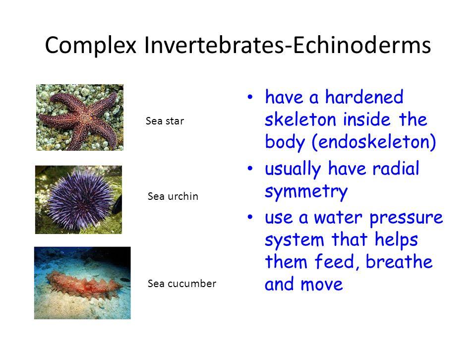 Complex Invertebrates-Echinoderms