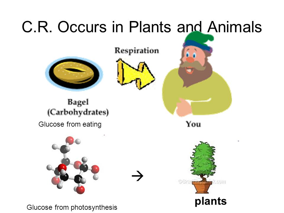 C.R. Occurs in Plants and Animals