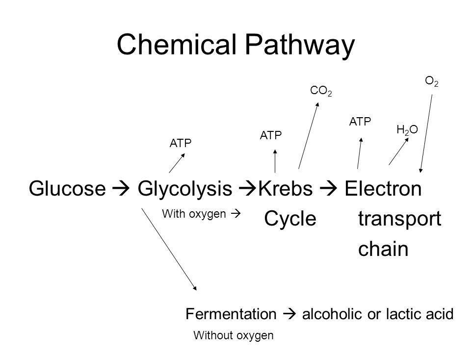 Chemical Pathway Glucose  Glycolysis Krebs  Electron