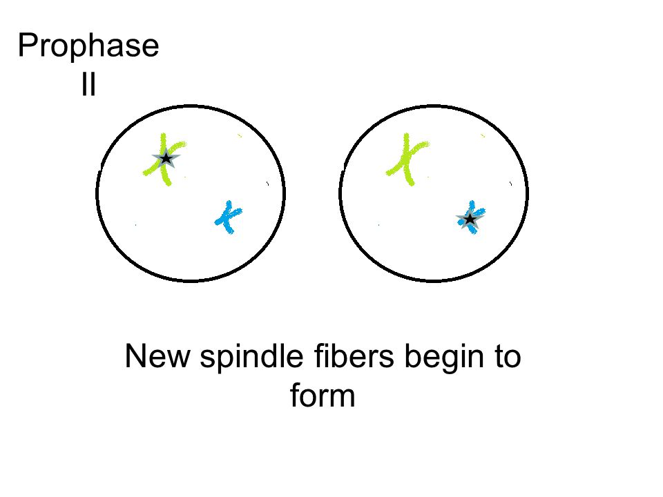 New spindle fibers begin to form