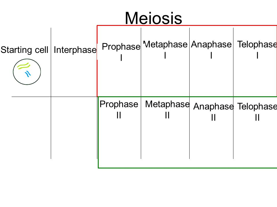 Meiosis Starting cell Interphase Metaphase I Anaphase I Telophase I