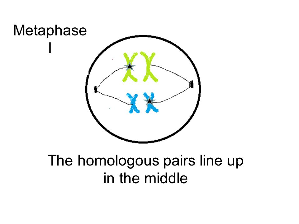 The homologous pairs line up in the middle