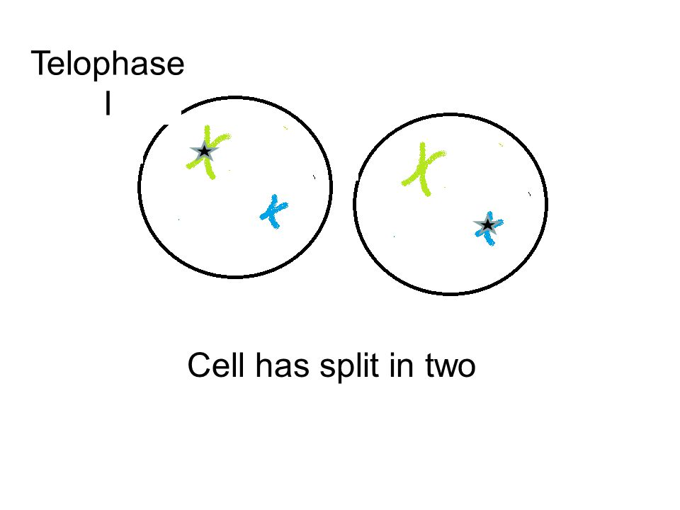 Telophase I Cell has split in two