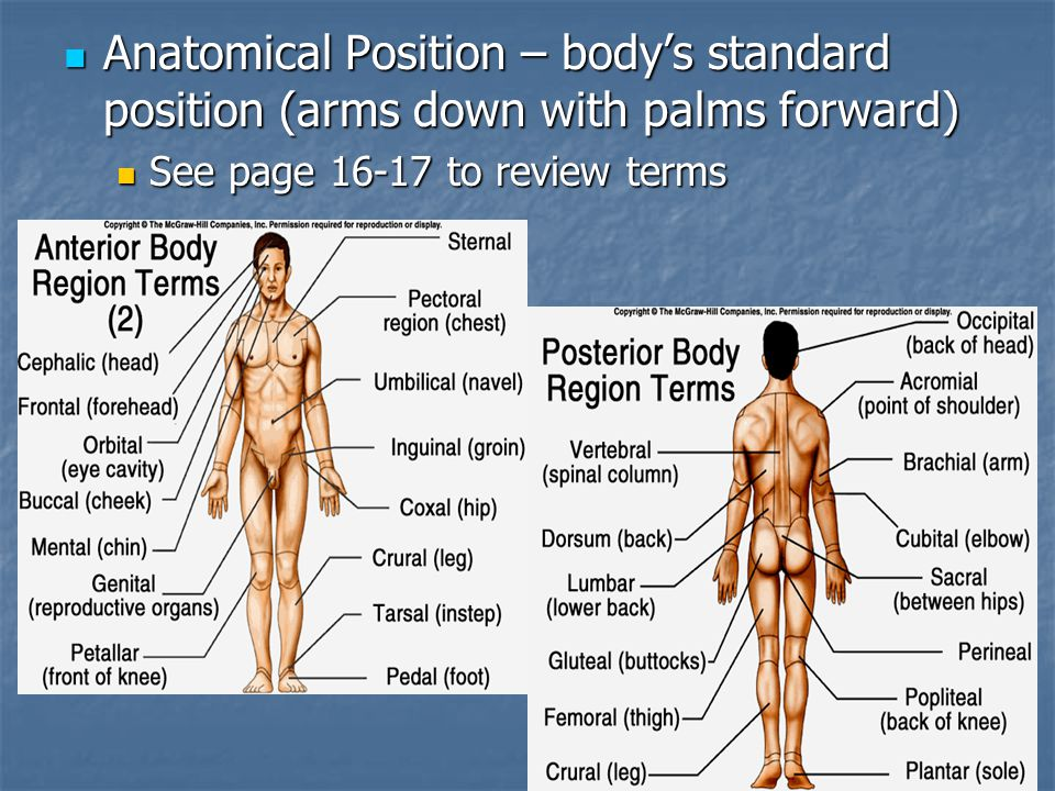 Anatomical Position – body's standard position (arms down with palms forward)