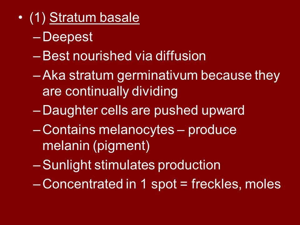 (1) Stratum basale Deepest. Best nourished via diffusion. Aka stratum germinativum because they are continually dividing.