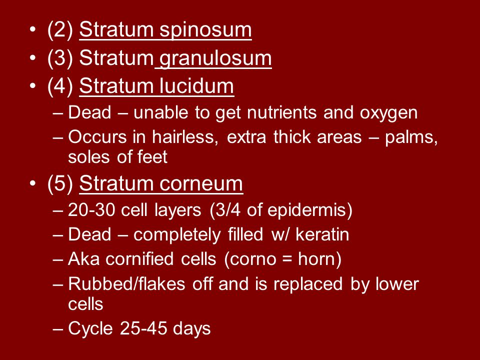(2) Stratum spinosum (3) Stratum granulosum (4) Stratum lucidum